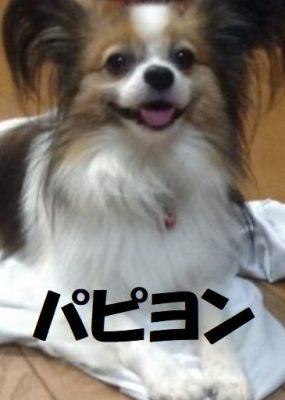 パピヨン犬の特徴