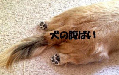 犬の腹ばい