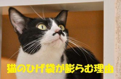 猫のひげ袋が膨らむ理由