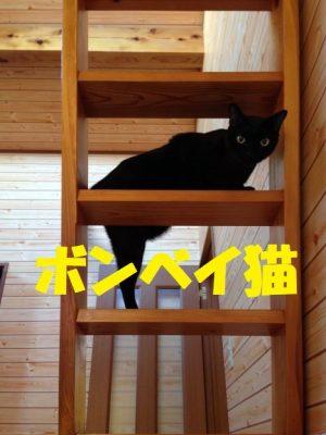 ボンベイ猫の特徴