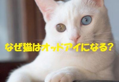 なぜ猫はオッドアイになる