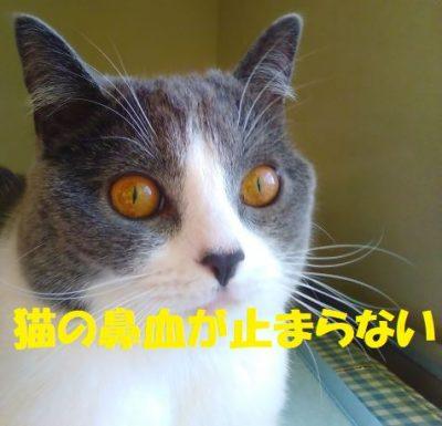 猫の鼻血が止まらない