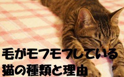 毛がモフモフしている猫の種類と理由