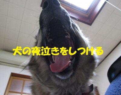 犬の夜泣きをしつける