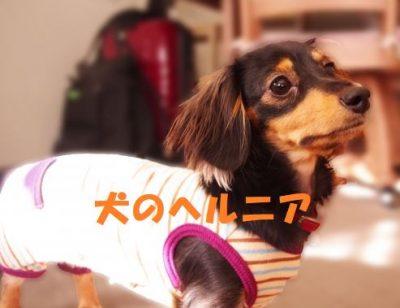 犬のヘルニア