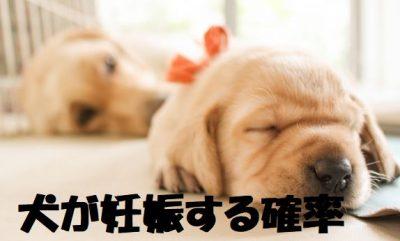 犬が妊娠する確率