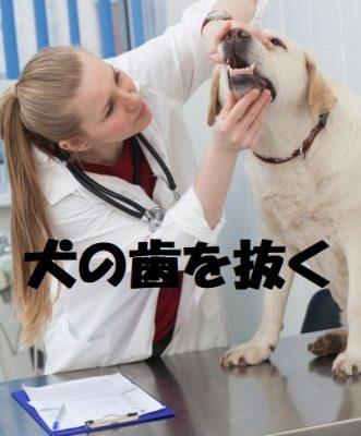 犬の歯を抜く