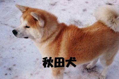秋田犬の特徴