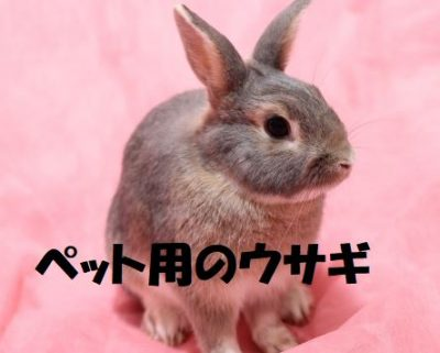 ペット用のウサギ