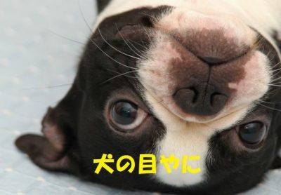 犬の目やに