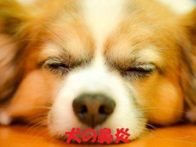 犬の鼻炎について