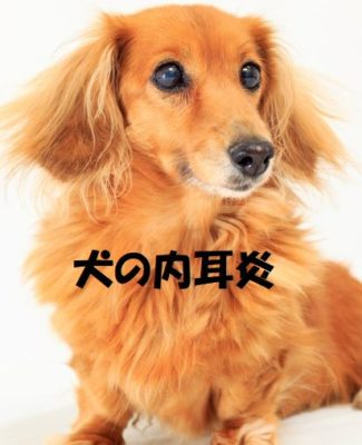 犬の内耳炎について