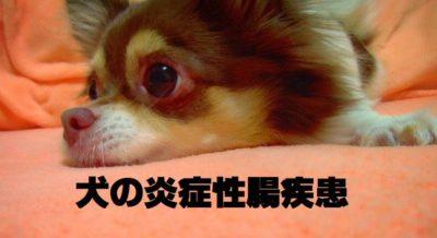 犬の炎症性腸疾患について