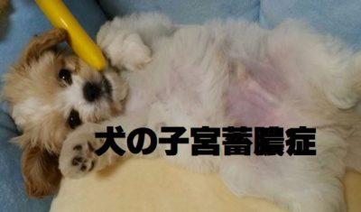 犬の子宮蓄膿症について