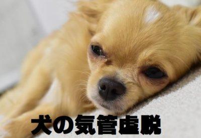 犬の気管虚脱について