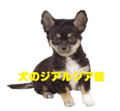 犬のジアルジア