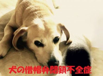 犬の僧帽弁閉鎖不全症について